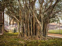 Rubber tree in the U.S. barracks, Key West, Florida, 1900