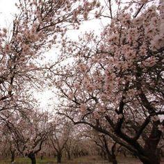 Israeli Almond trees in bloom from Lovers of Israel