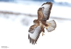 Common Buzzard by ~BogdanBoev
