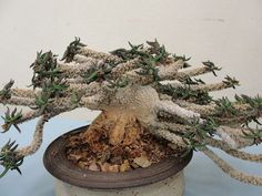 Euphorbia cylindrifolia var tuberifera