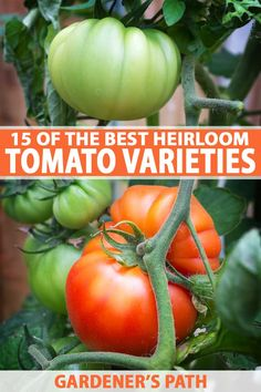 Tomatoes are one of the most commonly grown fruit in the home veggie garden. But have you ever tried non-hybrid heirloom varieties? Capture the texture, taste, and colors of the past with these old-fashioned favorites. Get our list of our 15 favorite heirloom tomato varieties on Gardener's Path now! #heirlooms #tomatoes #vegetablegardening #gardenerspath
