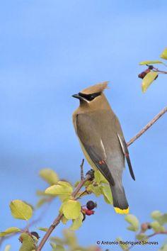 Cedar Waxwing (Bombycilla cedrorum) videos, photos and sound recordings | the Internet Bird Collection | HBW Alive