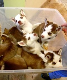 Husky Puppies: 12 Adorable Litters of Baby Animals - mom.me