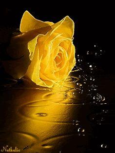 Yellow Rose of Texas My Flower, Flower Power, Ronsard Rose, Flowers Gif, Mellow Yellow, Flower Wallpaper, Yellow Roses, Beautiful Roses, Beautiful Pictures