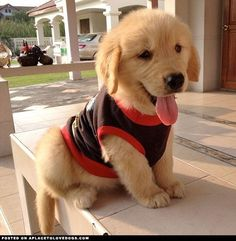 Puppy with beautiful clothes #cute #animals Cute Puppies, Cute Dogs, Dogs And Puppies, Doggies, Funny Dogs, Puppies Puppies, Retriever Puppy, Dogs Golden Retriever, Baby Golden Retrievers