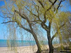 Spring Willow 2