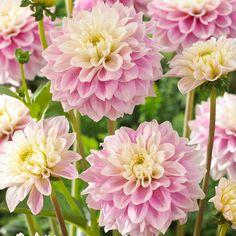 Dahlia Bulbs - Sweet Love