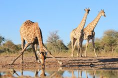 17 Fun Facts About Giraffes (Some are Hilariously Unbelievable) - Giraffe are most vulnerable to predators – especially lions – when they need to drink. Fun Facts About Giraffes, Giraffe Facts, African Elephant, African Safari, Safari Animals, Nature Animals, Africa Safari Lodge, Bat Eared Fox, Animal Bones