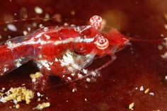 "New shrimp species discovered in Cape Peninsula waters A tiny new shrimp, called the ""stargazer mysid"" by divers because of its eyes' apparent permanent upward gaze, has been found in the extensively sampled waters of False Bay, Cape Peninsula, South Africa. http://www.thesouthafrican.com/new-shrimp-species-discovered-in-cape-peninsula-waters/"