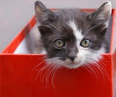 Adorable Little Baby Grey and White Kitten in a Shoe Box