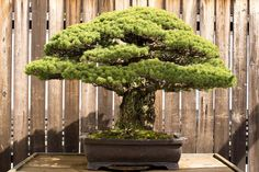 This 385-year-old Bonsai survived in Hiroshima!