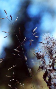 2012 syyskuun puoliväli Praktica & Pancolar 066 Dandelion, Flowers, Plants, Dandelions, Plant, Taraxacum Officinale, Royal Icing Flowers, Flower, Florals