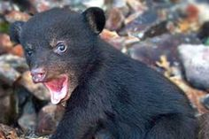 10 of the Most Adorable Baby Bears