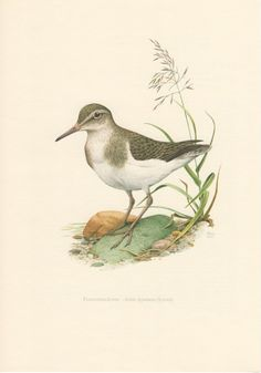1957 Common Sandpiper, Antique Print, Vintage Lithograph, Actitis hypoleucos, Scolopacidae, Ornithology, Wader, Birds, Natural History