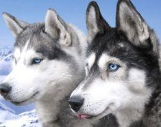 huskies | Siberian Huskies