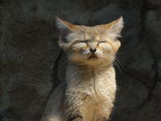 Sleepy Wild Sand Cat