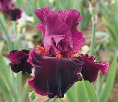 This richly colored bitone has bravado and strength. The engrossing violet burgundy falls are a magnet. Both the standards and a lilting band around the falls are wine-colored, providing. Iris Flowers, Types Of Flowers, Purple Flowers, Colorful Flowers, Planting Flowers, Beautiful Flowers, Flower Gardening, Plants Sunny, Sun Plants