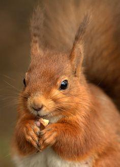European squirrels!