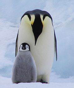 Penguin slide show.  18 different kinds of penguins, their size and how to recognize them.