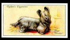 "Ogden's Cigarettes ""Dogs"" (set of 50 issued in Skye Terrier Skye Terrier, Dog Artwork, Birds Of America, Collector Cards, Game Birds, Vintage Illustrations, Old Postcards, Animals Of The World, Random Pictures"