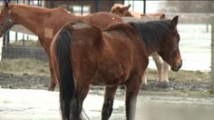 Feb 4, 2016, JIM THORPE PA -- State police have filed 11 animal cruelty charges against a veterinarian Clyde Shoop and his wife Kimberly Shoop from Jim Thorpe after finding more than a dozen horses starving on his property in Parrysville. Last Chance Ranch near Quakertown has been a saving grace for the horses. While police were on the property, they also found decomposed remains of several horses and other animals