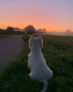 What a beautiful night. White Angel, West Highland Terrier, West Highland White, White Terrier, Westies, Animals And Pets, Cute Dogs, Puppies, Sunset