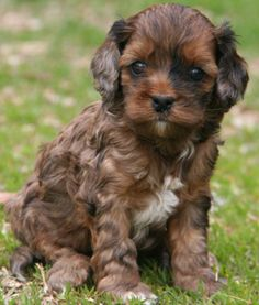 cockapoo pup.  Yep, I want one...