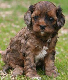 cockapoo pup.  Yep, I want one...