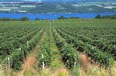 anyela's vineyard