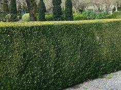 Les 17 Meilleures Images De Arbuste Arbuste Jardin De Topiaires