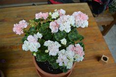 Arctic princess pelargonium Arctic, Floral Wreath, Wreaths, Princess, Plants, Home Decor, Room Decor, Flora, Garlands