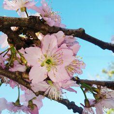 Flor cerejeiras