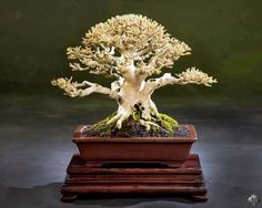 Phremna Microphila (Sancang) bonsai tree  By: Tri Djoko Endro Susilo