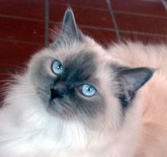 Family cat.. A ragdoll cat. This is what my cat is half of. He is the biggest lap cat you will ever meet.