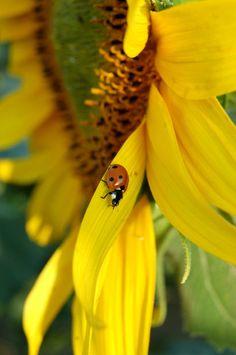 Tuscan Sunflower & Ladybug!