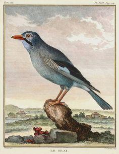 Vintage bird engraving - Le Comte de Buffon - Le Geai -1766
