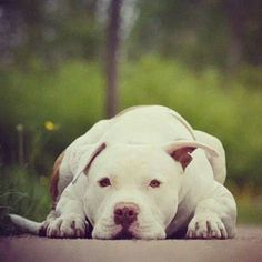 Pit Bull Breed History Click the picture to read Pet Dogs, Dogs And Puppies, Doggies, Animals Beautiful, Cute Animals, Cute Pitbulls, Nanny Dog, Amor Animal, Dog Rules