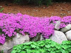 PHLOX SUBULATA 'EMERALD PINK' - CREEPING PHLOX  POTTED PLANT PERRENIAL