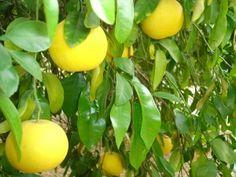 Grapefruit Tree Care – Tips For How To Grow Grapefruit