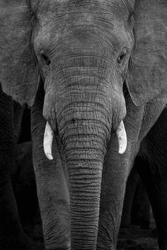 Elephant- I like Elephants.