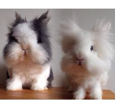 Scrummy Lionheads...so cute, totally makes me giggle..their sweet lil heads look so big!