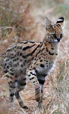 Cats In Boxes Refferal: 6150793993 Serval Cats, Caracal, Cat Has Fleas, Domestic Cat Breeds, Sphinx Cat, Mean Cat, Exotic Cats, Pusheen Cat, Animal Sketches