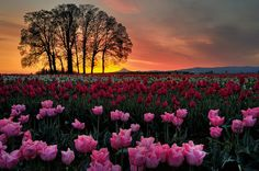 Tulips at the Wooden Shoe Tulip Farm in Woodburn, Oregon photographed by Garry Liddell