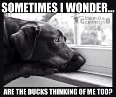 Hunting. Black Labs. Duck Dogs. #WaterfowlHunting