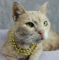 Petango.com – Meet Izzabelle, a 6 years 2 months Domestic Shorthair / Mix available for adoption in LOUISVILLE, KY