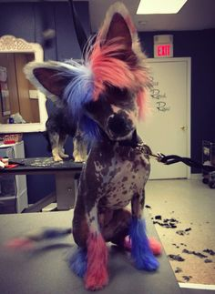 Genevieve chinese crested merica