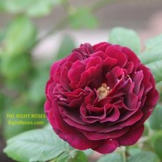 Princess Alexandra of Kent Rose Review   David Austin 2007 - The Right Roses Fragrant Roses, Shrub Roses, Jude The Obscure, Garden Rose Bouquet, Small Shrubs, Princess Alexandra, David Austin Roses, Kinds Of Colors, Desert Rose
