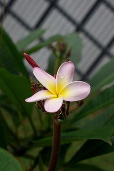 Plumeria.. my favorite flower in Hawaii :)