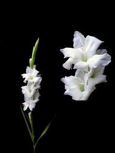Gladiola Blanca Paq. de 6 $60  Estos Precios están sujetos a cambios y disponibilidad del Producto.