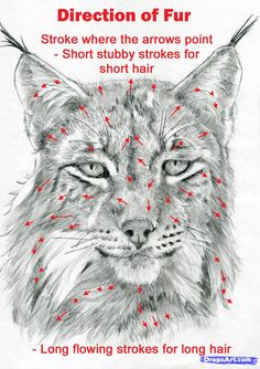 How to Draw a Realistic Lynx, Step by Step, Realistic, Drawing Technique, FREE Online Drawing Tutorial, Added by catlucker, July 20, 2012, 10:55:33 pm
